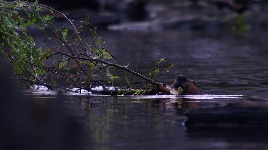 TWA_Ep3_34_beaver.jpg