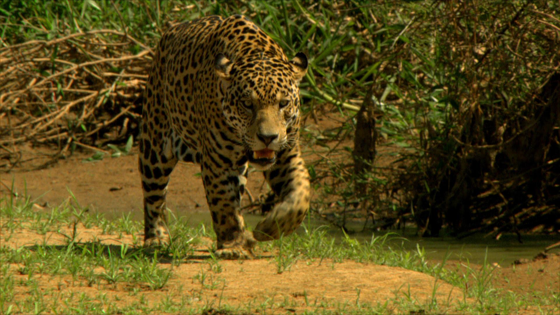 Jaguar (7).jpg