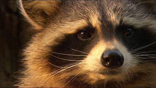 Racoons - The New Europeans