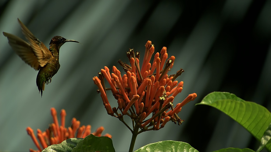Amazon Alive_Part 1_Hummingbird.jpg