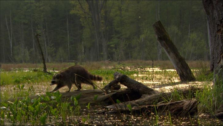 Waschbären (14).jpg