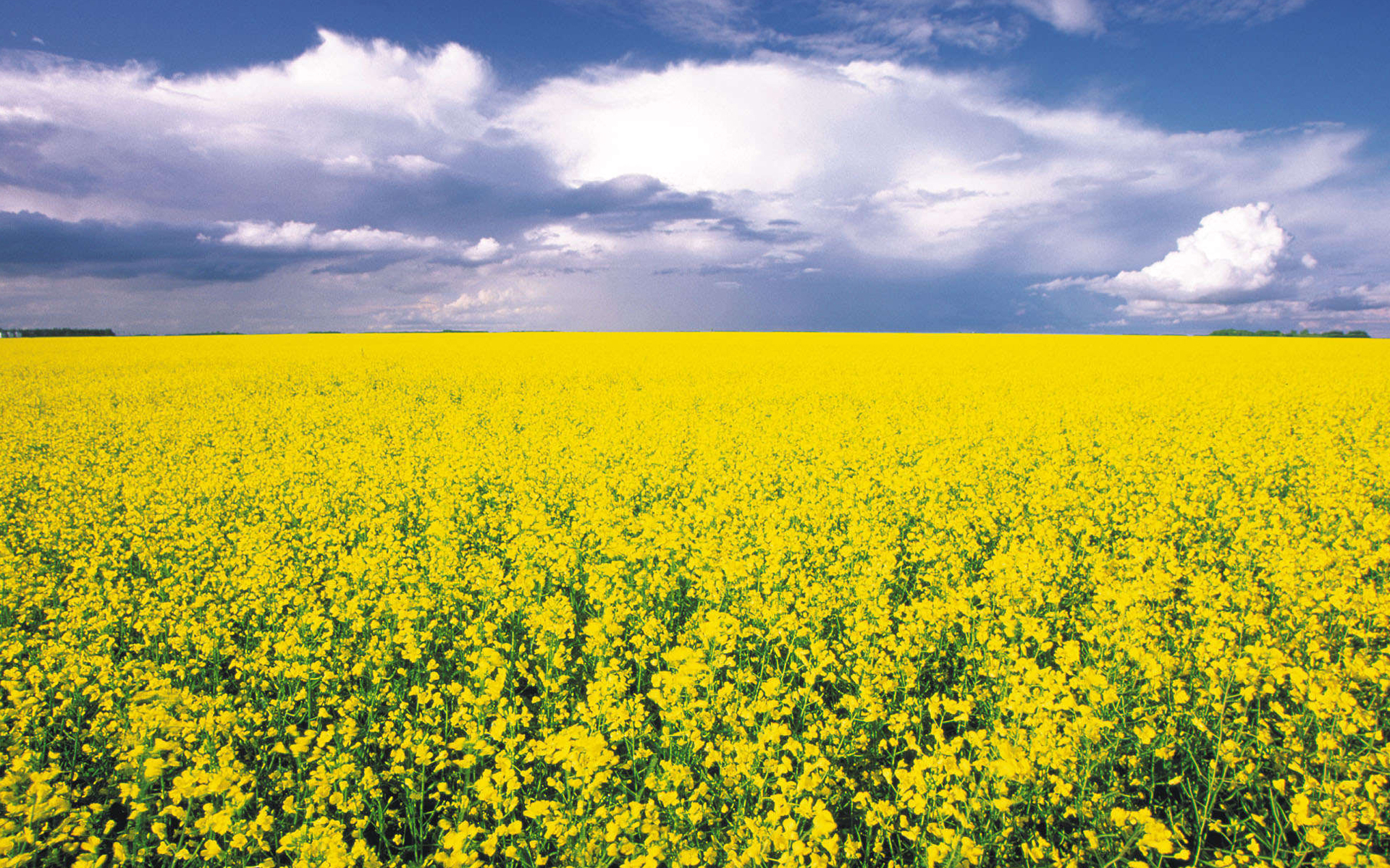 canola-flowers-field-HD-wallpapers