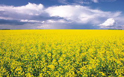 canola-flowers-field-HD-wallpapers