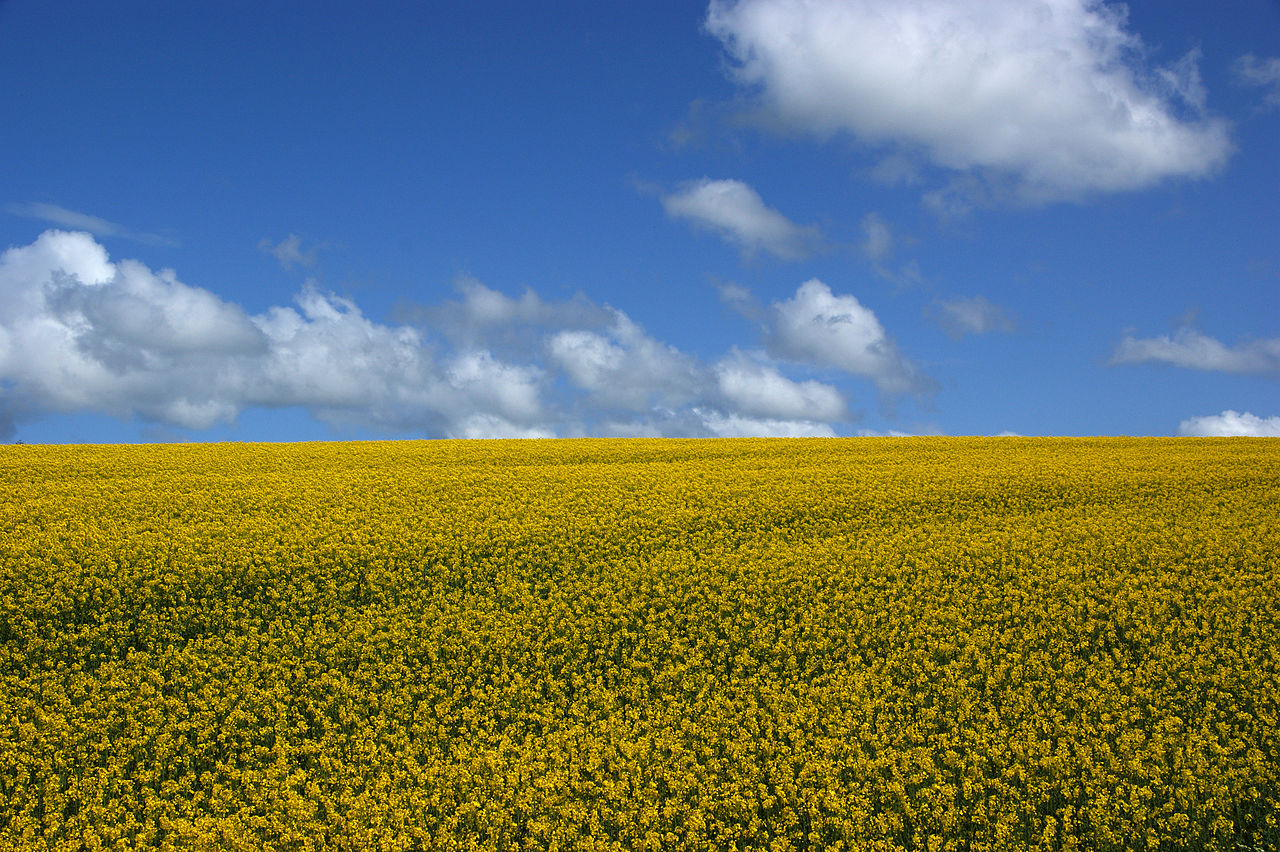 1280px-Rapeseed_field_in_Ireland