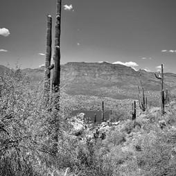 Bartlet Saguaros.jpg