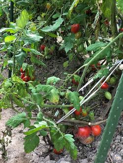 トマトが実りました♪