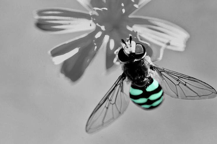 bee sitting on a flower getting pollen honey bee detailed wings and blue back black and white with colour