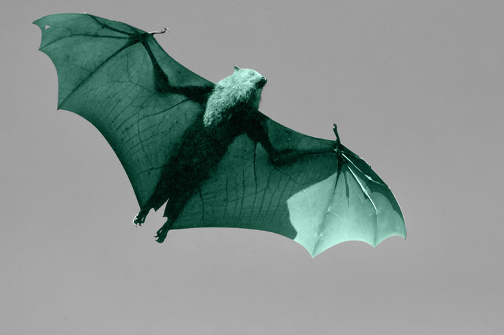 bat flying through the night sky nocturnal animal using echolocation black and white with colour