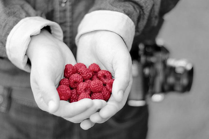 hands holding raspberries in two hands handful pink raspberries black and white with colour