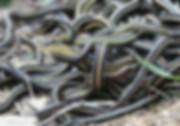 Mating_ball_of_garter_snakes.jpg