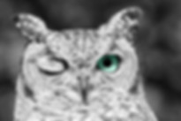 winking owl with wide eyes staring atc camera in black and white with colour nocturnal animal