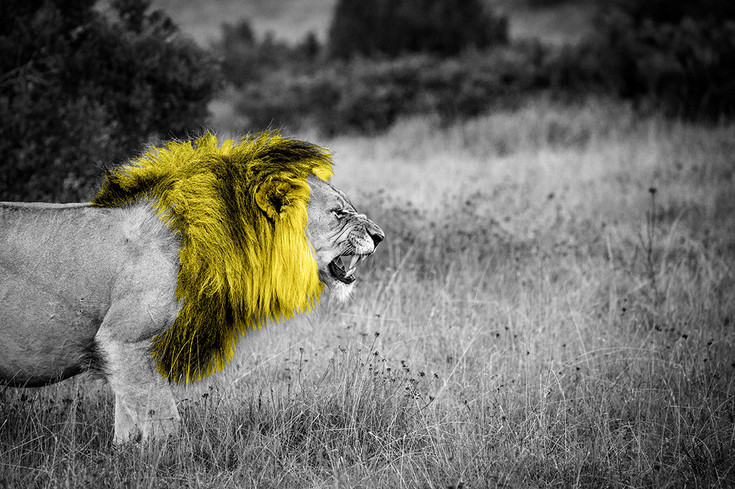 lion roaring on african safari with yellow mane black and white with colour