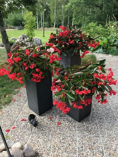 Blombilder Beg Dragon Wing.jpg