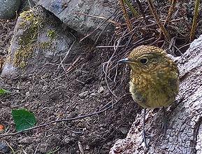 Juvenile Robin.jpg