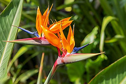 Bird-of-paradise-flower-shutterstock.jpg