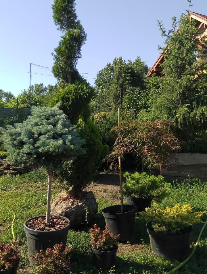 Озеленение кипарисовиками. Одесса