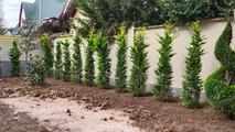 высадка кипарисовика в живую изгородь