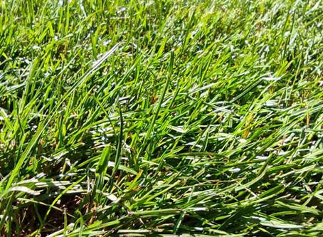 Рулонный газон в Дайберге. Одесса
