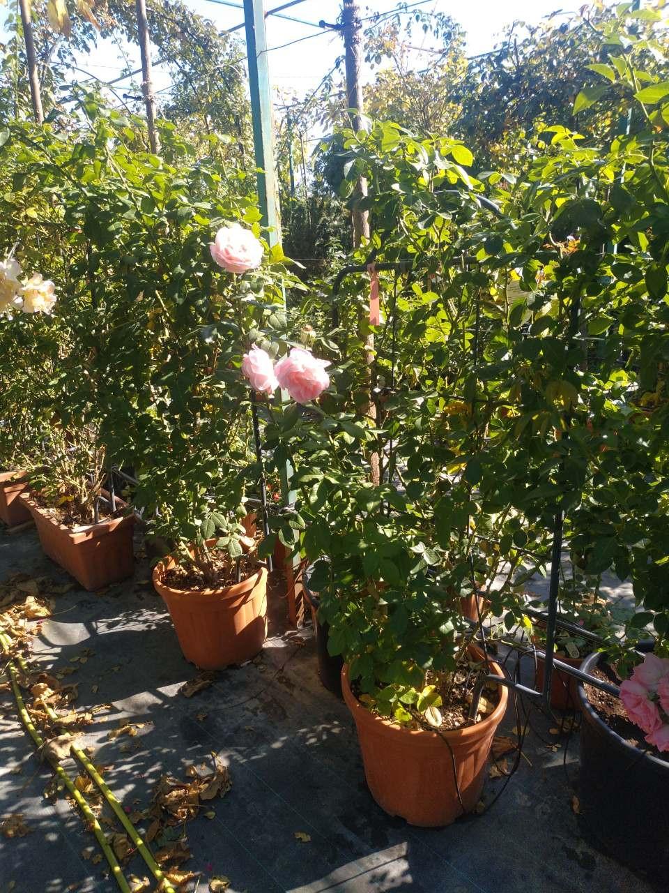 Большой выбор роз для вашей клумбы в Одессе