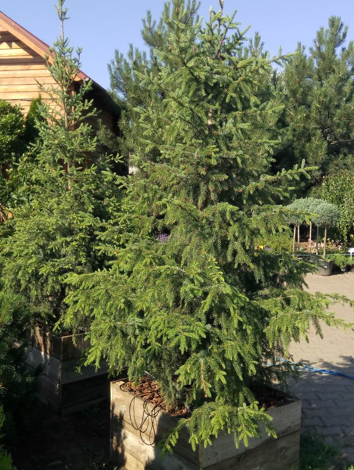 Высадка хвойников в Одессе