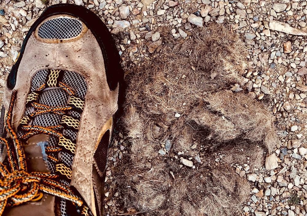 big wolf scat with just prey hair