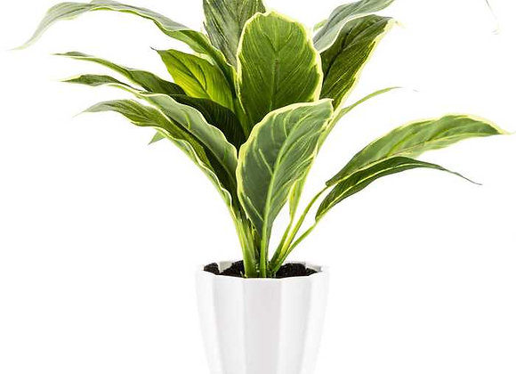 Green Hosta Plant In White Pot