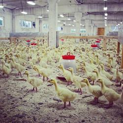 Кушать и спать ) #гусята #гуси #ферма
