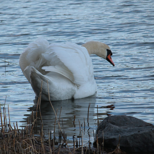 Swan at Raumanmeri 2017