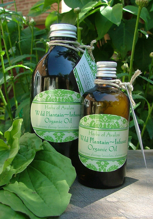 PLANTAIN INFUSED OIL - Wild Plantago major in organic Olea europaea