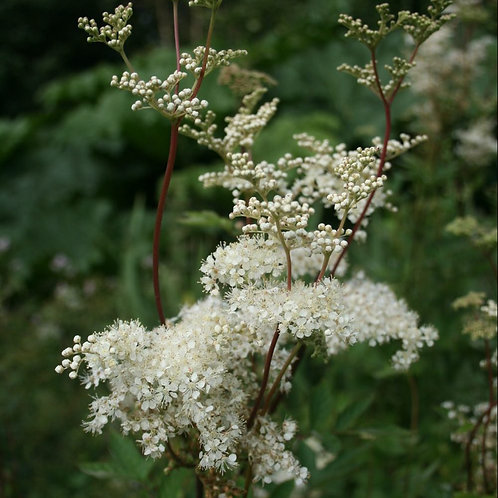 Meadowsweet Herb - Filipendula ulmaria - Wild Harvested - 1g approx 1000 seeds