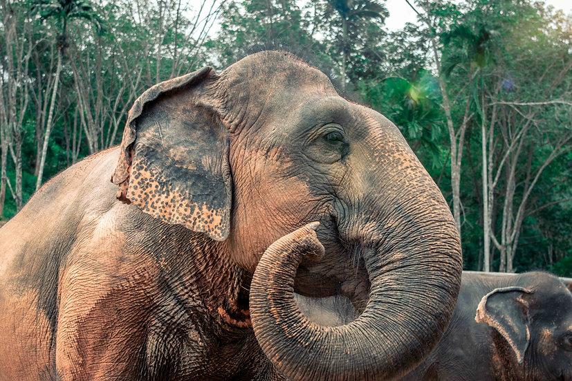 The Thailand Elephant