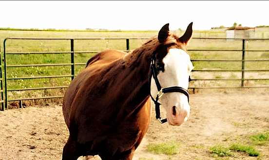 deaf horse, skipper, deaf horse association, splashed white paint horse