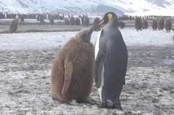 Madre e hijo. Pingüinos Rey