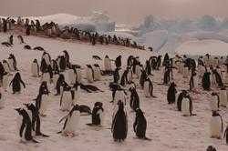 Antartica, pingüinos Amelia