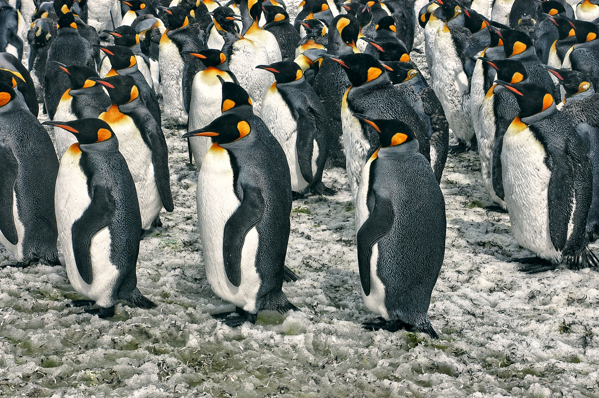 Pingüinos Rey, Fortuna Bay.