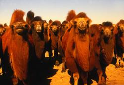 Camellos Bactreanos. Gobi