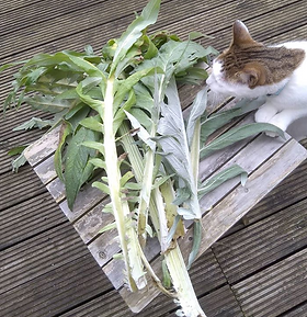 Cardoon, or artichoke thistle, is used here for it's edible inner stalks. The stalks can be braised and made into a stew or eaten with...