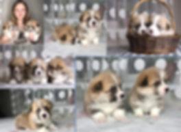 купить щенка корги
