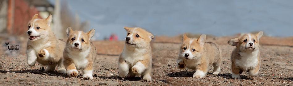 купить щенка корги, питомник корги, питомники и клубы, корги москва, корги ркф, ркф, москва, чехов