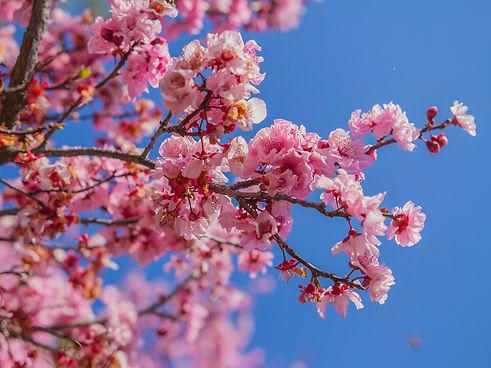 Cherry Blossoms.jpeg