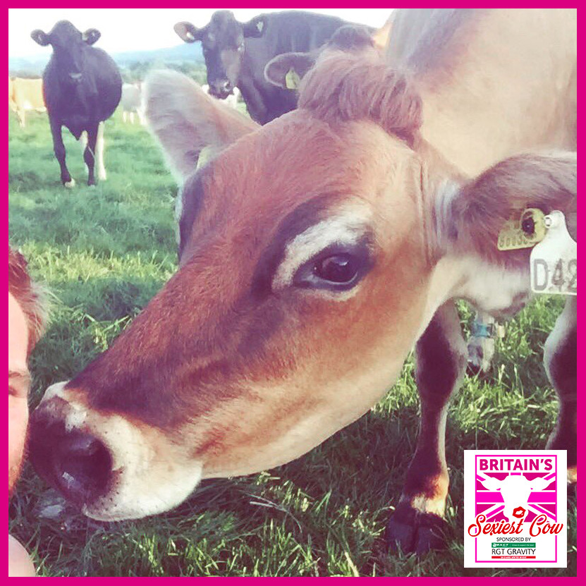 Viral marketing example Britains sexiest cow