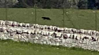 ADELFIA (BA) - La pantera si sposta nelle campagne del Barese