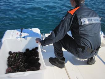 MONOPOLI (BA) - La Guardia Costiera di Monopoli sequestra 350 ricci di mare