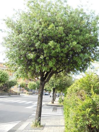ALBEROBELLO - Ancora alberi in Coreggia