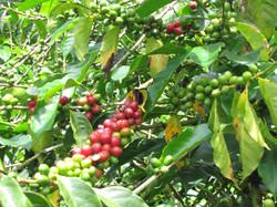 El café en la rama