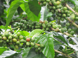 Detalle café verde
