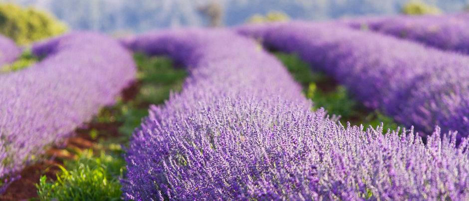 Lavender Fields Sleepy Time Tea