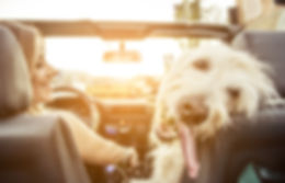 Woman And Her Labradoodle Dog Driving Wi