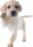 purebred puppy labrador retriever in a