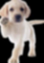 Assistentiehond